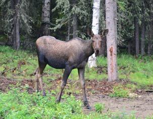 moose north of Delta Junction