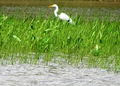 Great Egret in Delta