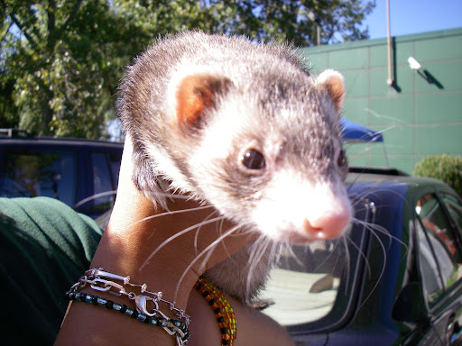 "This is Paprika the Ferret. The center has a number of animals - snakes, lizards, tortoises, guinea pigs, rabbits & 2 ferrets. I never actually met a ferret before & Paprika seemed like an absolute sweetheart. I knew that people kept these as pets, but I'd always been skeptical about how good a pet a weasel could make - well, she's not exactly a pet, but she's a very friendly, curious, and gentle little creature. Assuming you're not a prairie dog, at least. She was on her way out to be the ""show"" part of some animal show and tells that were part of the day's events."