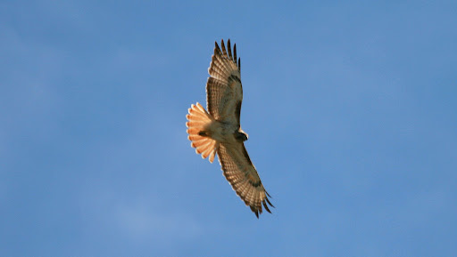 Red-tailed Hawk in flight !