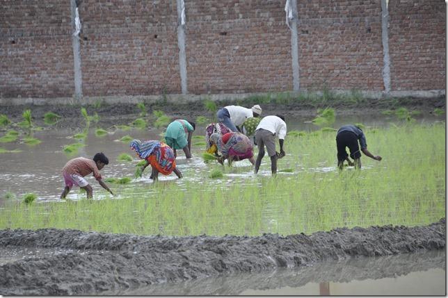 route gwailor orchha 004 plantation de riz