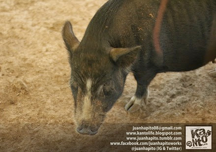 Fatbelly Pig