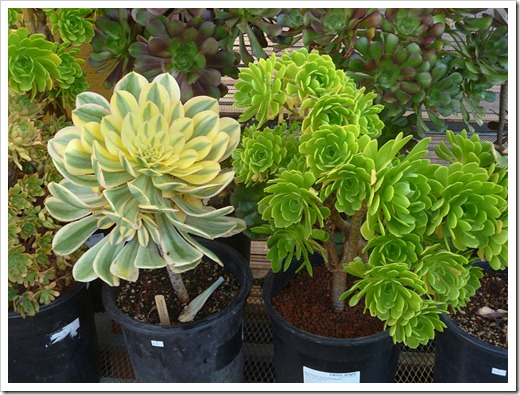 120208_CactusJungle_Aeoniums