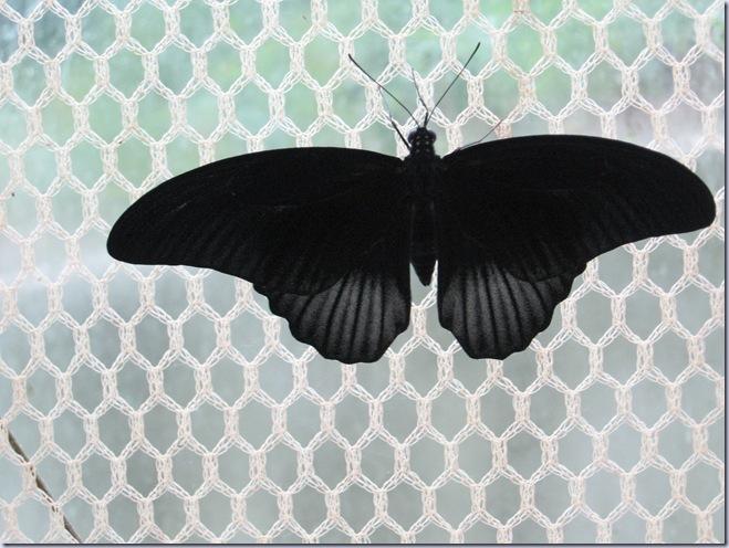 Farfalle 117