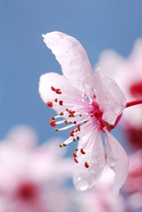 Spring Forward Plum Blossom. Democrat photo by Pat Dollins
