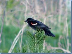 IMG_4347 Bronte Creek Provincial Park Red-winged Blackbird