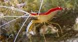 Biodiversité crevette nettoyeuse