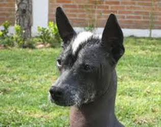 Amazing Pictures of Animals, Photo, Nature, Incredibel, Funny, Zoo, Dog, Mexican Hairless Dog, Xoloitzcuintle, Mammals, Alex (4)
