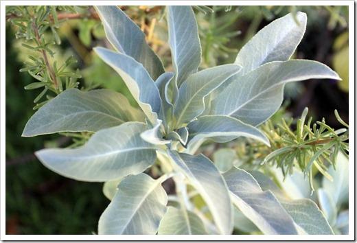 121212_Morningsun_plants_Salvia-apiana_01