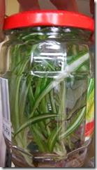 DSCF1566 de  clorophytum planten in de couveuse na zes weken in de pot zonder te open te zijn geweest-whoispieter
