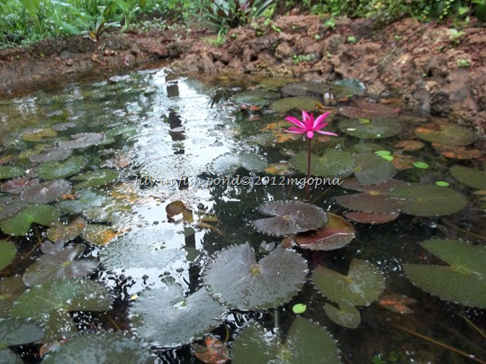 artificial pond lily fish
