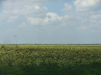 campo de girasoles entre Belgrado y Budapest