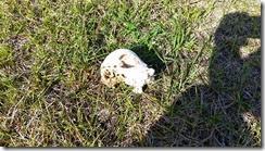 Calf skull 2
