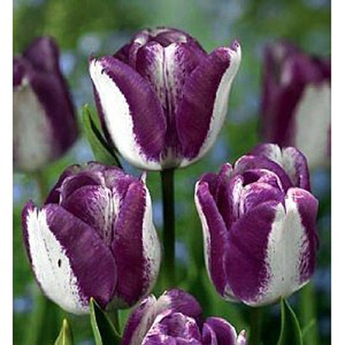 tulip_hotpants_L[1]