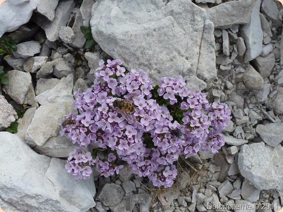 Alpeblomst i Dolomitterne