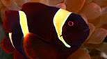 Biodiversité poisson clown épineux
