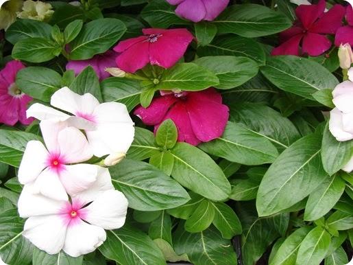 tanaman herbal darah tinggi