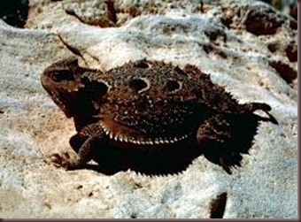 Amazing Pictures of Animals, photo, Nature, exotic, funny, incredibel Zoo, Horned lizard, Phrynosoma, Reptilia, Alex (11)
