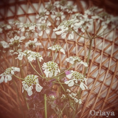 orlaya white spring wild flower