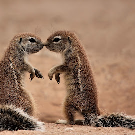 I Love you!! by Adéle van Schalkwyk - Animals Other Mammals ( love, kiss, isolated, ground squirrel, young, mammal, animal )