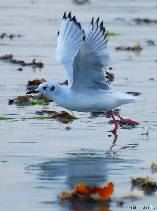 2. bonaparte's gull-kab