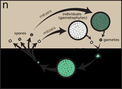 Sporic meiosis