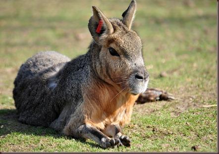 Amazing Animals Pictures Patagonian mara  (3)