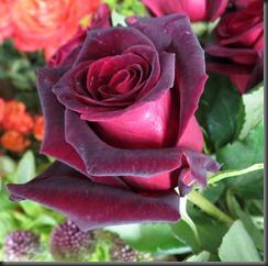Rose 'Black Baccara'