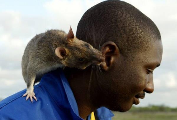 1- Os ratos gigantes de Gâmbia