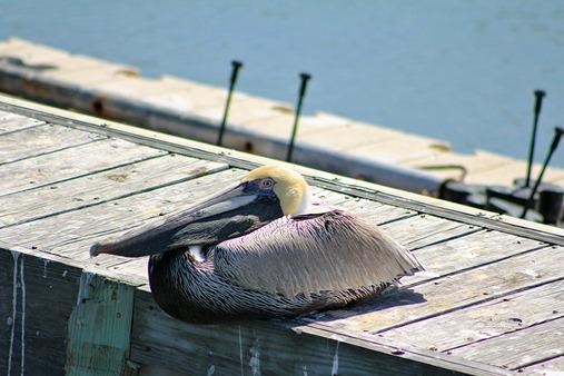 South Padre Pelican9