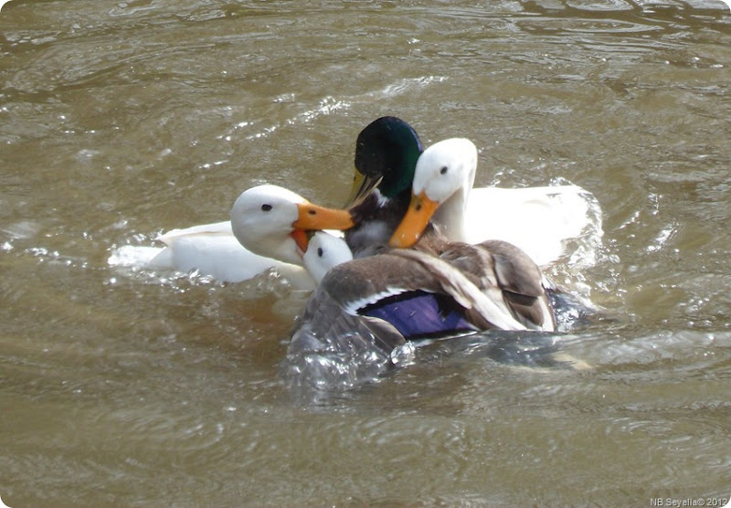 SAM_0007 Duck Brawl