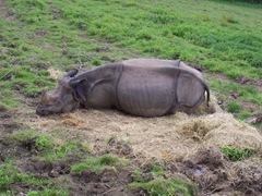 2007.08.09-001 rhinocéros indien