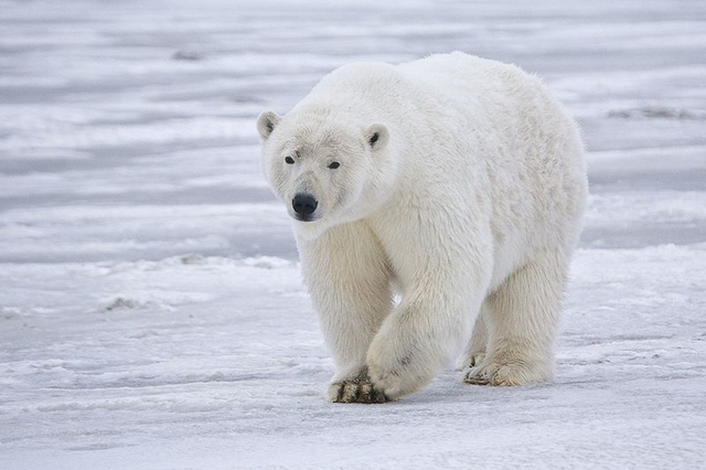 Sow Polar Bear (Ursus maritimus) near Kaktovik, Barter Island, Alaska, 2007. Photo: Alan Wilson