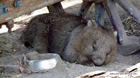 müder Wombat