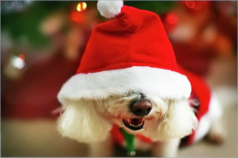 bichon-frise-dog-in-santa-hat-at-christmas-nicole-kucera