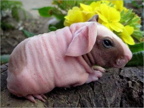Skinny Pig 01