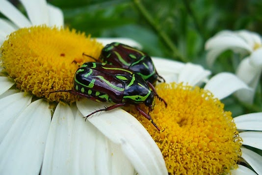 Amazing Pictures of Animals, Photo, Nature, Incredibel, Funny, Zoo, Eupoecila australasiae, fiddler beetle or rose chafer, Insecta, Alex (2)