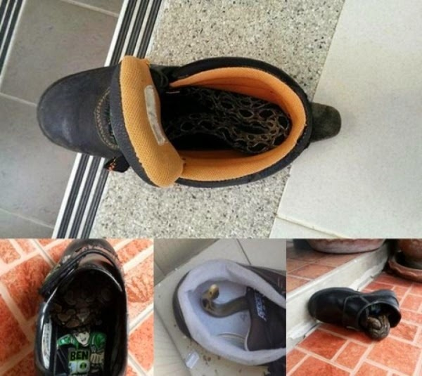 snake in shoes