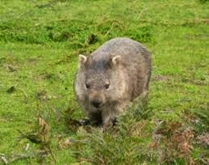 Amazing Pictures of Animals, Photo, Nature, Incredibel, Funny, Zoo, Common wombat, Vombatus ursinus, Marsupial, Mammals, Alex (1)
