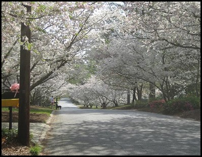 Macon Cherry Blossom Tree's