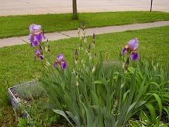 Irises June 2013