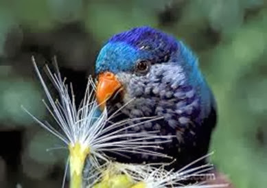 Amazing Pictures of Animals, Photo, Nature, Incredibel, Funny, Zoo, Vini ultramarina, Ultramarine Lorikeet, Aves, Bird, Alex (9)