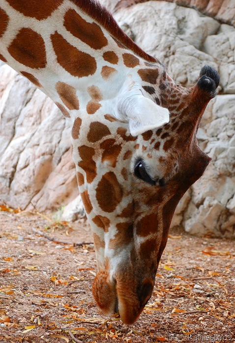 6. giraffe-kab