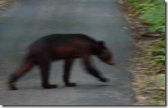 Fuzzy Bear