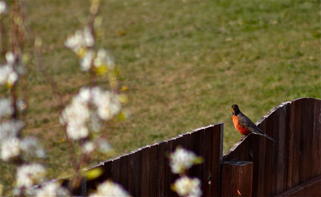 Mar/Apr 2011 - 3rd Place / A robin perched on a fence / Credit: Tomas Calderon