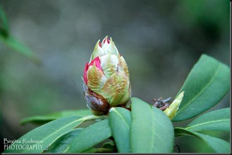 blom_20120516_rhododendron1
