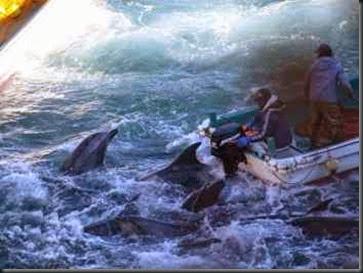 golfinho-encurralados-japão
