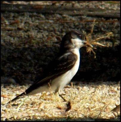 AM thrashers & swallow 022