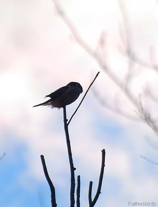 3. N Hawk owl-kab
