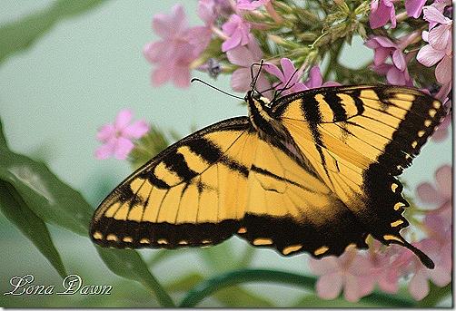 Phlox_Swallowtail